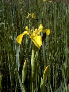 A yellow flag iris within the marsh