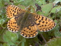 Pearl bordered fritillary resting with wings open
