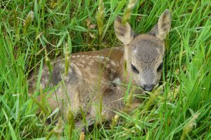 Roe Deer Fawn nestled in the grass