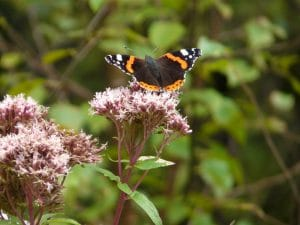 Red Amiral butterfly sitting on hemp agrimony