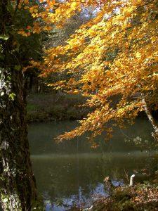 Beech tree in autumn leaf