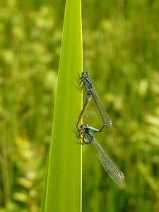 Male and Female blue tailed damselflies mating