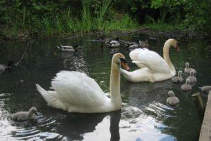 Swan Cygnets being escorted by adults