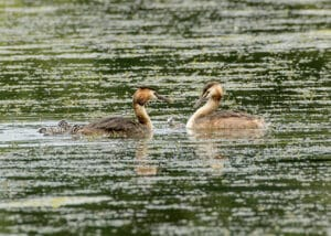 four great crested grebe chicks on the back of the adult
