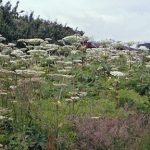 Giant Hogweed, tall, cow parsley like plant with thick bristly stems