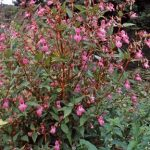 Himalayan Balsam is a tall growing annual. Between June and October it produces clusters of purplish pink flowers