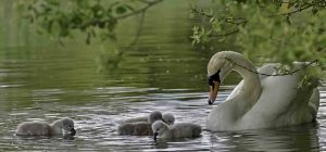 Swan and Cygnets by Anthony Nixon
