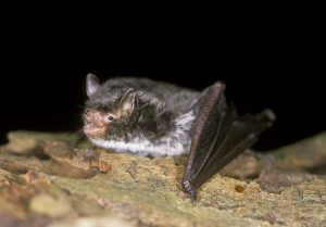 Daubenton Bat by Hugh Clark
