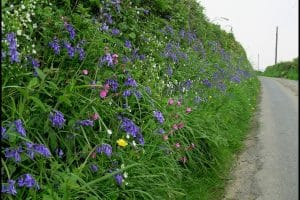 Colourful wildflowers in bank next to country lane