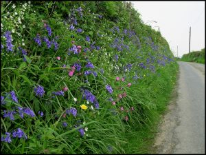 View of country lane with bluebells and other colourful flowers in hedgebank