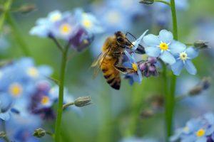 Honey bee on forget-me-not flower Copyright Ben Lee