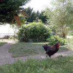 cockrell in garden