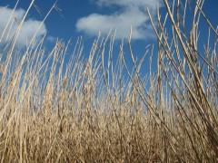 Miscanthus energy crop