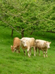 Cattle grazed orchard