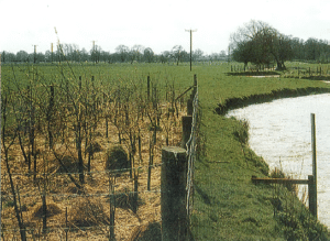 Photo of a bank stabilised using young trees (Source: EA, 1999, p.145)