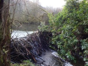 A dam constructed by beavers