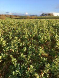 Winter cover crops